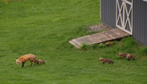 Foxes in Chester County PA